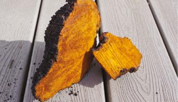 Čaga – přírodní poklad ze sibiře